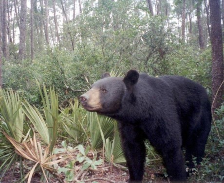 outdoorhub-florida-officials-revive-bear-hunt-in-wake-of-increased-encounters-2015-03-02_19-00-46-731x600