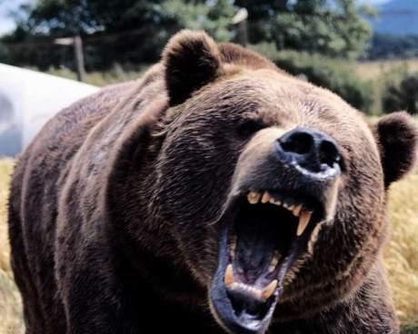 angry-black-bear-1