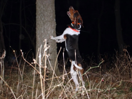 Florida Coon Dog1