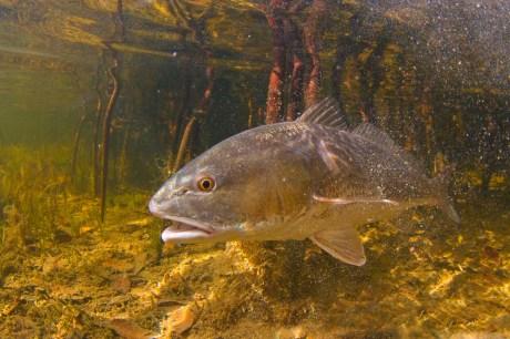 redfish-April-3