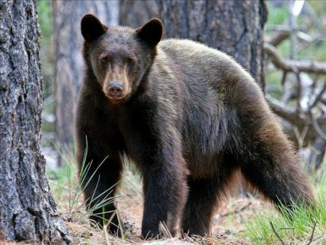 bear.mgn