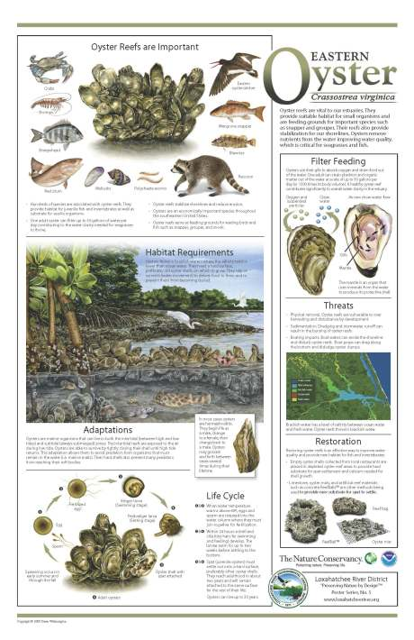 eastern-oyster-florida-poster