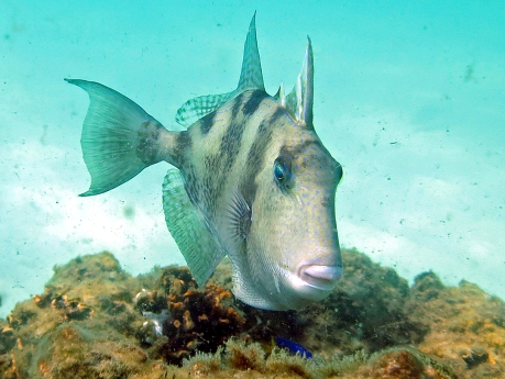 gulf-gray-triggerfish
